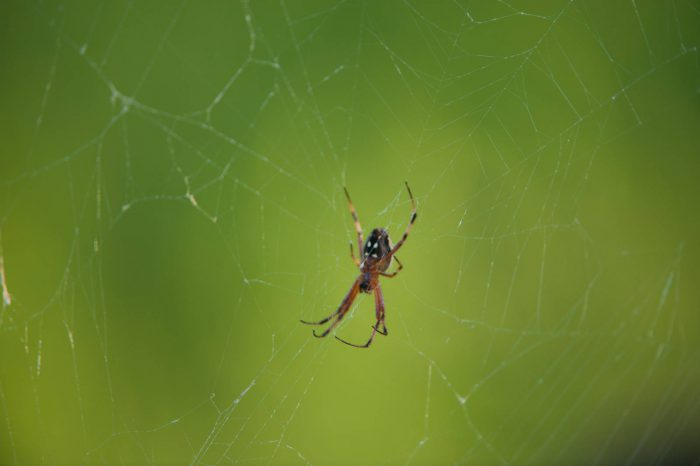 Photo: A zig-zag spider (Neoscona cooksoni) on North Seymour, in Galapagos National Park.