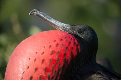 Photo: On the North Seymour Island in Galapagos National Park, a male great frigatebird (Fregata minor) distends his striking red gular sac in hopes of attracting a mate.