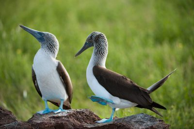 Photo: One of a mated pair of blue-footed boobies (Sula nebouxii) does a mating dance on North Seymour, in the Galapagos Islands.
