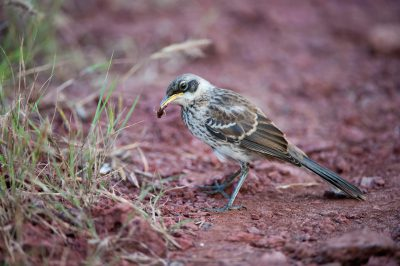 Photo: Galapagos mockingbird (Mimus parvulus) with a grasshopper in its mouth, on Rabida Island in the Galapagos.
