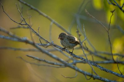 Photo: A female small ground finch (Geospiza fuliginosa) on Rabida Island in Galapagos National Park.