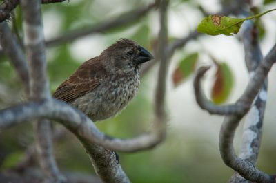 Photo: A large ground finch (Geospiza magnirostris) on Rabida Island in Galapagos National Park.