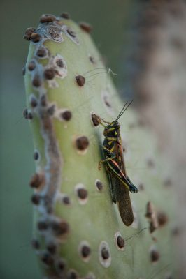 Photo: A painted locust,(Schistocerca melanocera) rests on a form of prickly pear cactus on Rabida in the Galapagos Islands.