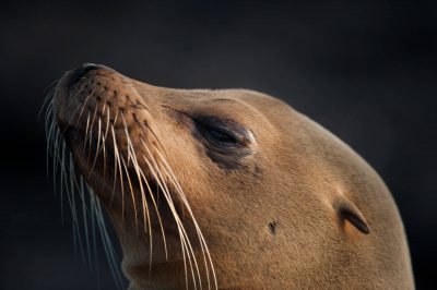 Photo: Galapagos sea lion (Zalophus wollebaeki) on Fernandina Island in Galapagos National Park.