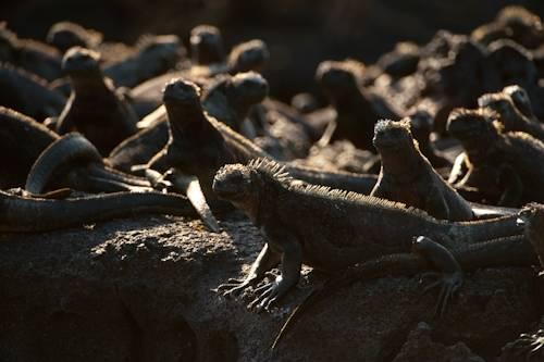 Photo: Marine iguanas (Amblyrhynchus cristatus) on Fernandina Island in Galapagos National Park.