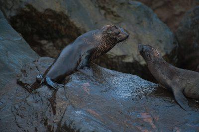 Photo: Galapagos fur seal (Arctocephalus galapagoensis) on Isabella Island in Galapagos National Park.