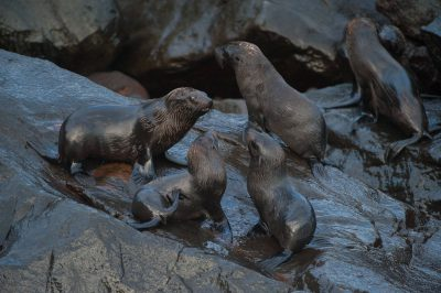 Photo: Galapagos fur seal (Arctocephalus galapagoensis) on Isabella Island in Galapagos National Park.