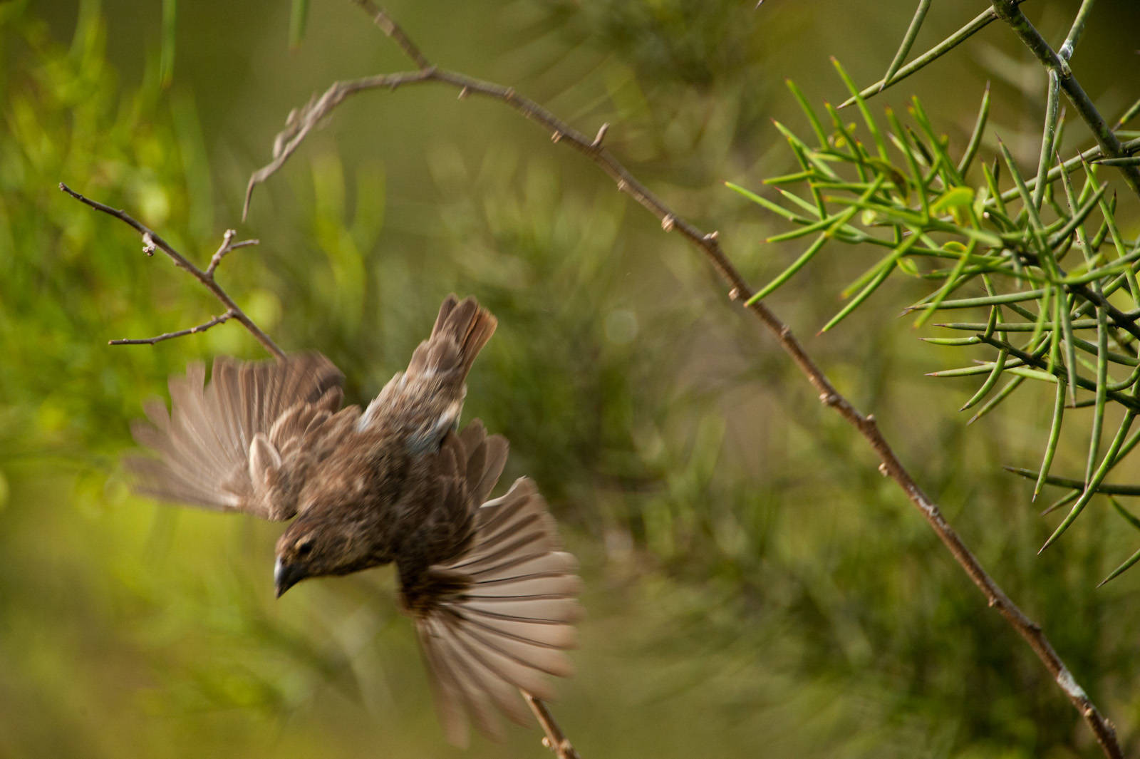 Photo: A large ground finch (Geospiza magnirostris) in flight on Urbina Bay, Isabela Island in Galapagos National Park.