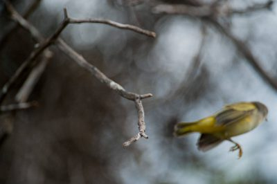 Photo: A yellow warbler (Dendroica petechia) taking off at Tagus Cove in Galapagos National Park.