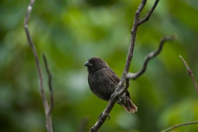 Photo: A medium ground finch (Geospiza fortis) on Urbina Bay, Isabela Island in Galapagos National Park.