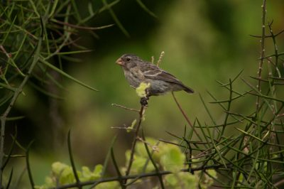 Photo: A medium ground finch (Geospiza fortis) on Urbina Bay, Isabela Island in Galapagos National Park.