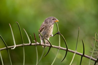Photo: A large ground finch (Geospiza magnirostris) on Urbina Bay, Isabela Island, Galapagos National Park.