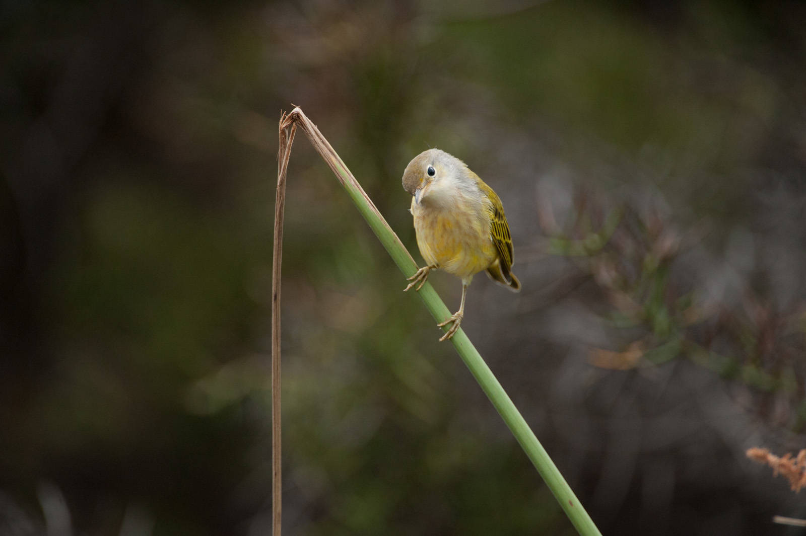 Photo: A yellow warbler (Dendroica petechia) at Tagus Cove in Galapagos National Park.