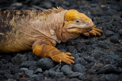 Photo: A Galapagos land iguana (Conolophus subcristatus) on Urbina Bay, Isabela Island in Galapagos National Park.