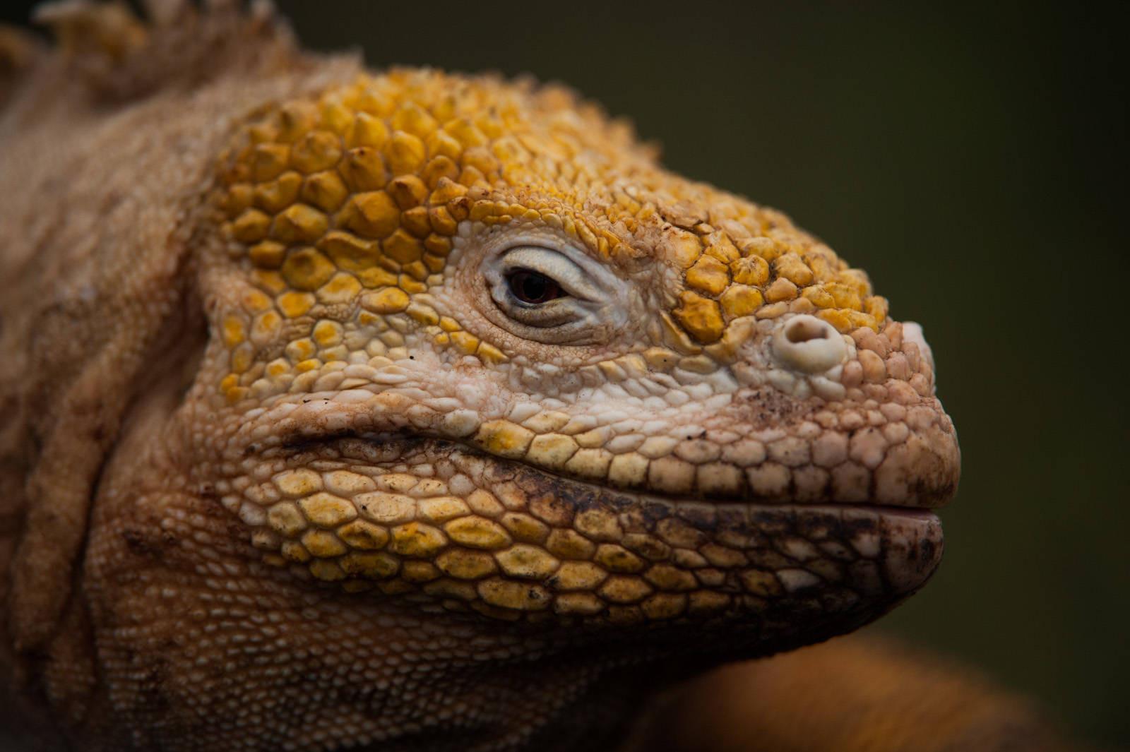 Photo: A Galapagos land iguana (Conolophus subcristatus) on Urbina Bay, Isabela Island in Galapagos National Park.