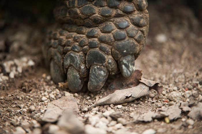 Detail of the foot of a Galapagos giant tortoise (Chelonoidis vicina) on Urbina Bay, Isabela Island in Galapagos National Park.