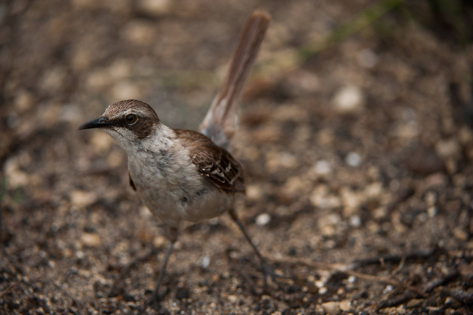Photo: A Galapagos mockingbird (Mimus parvulus) on Urbina Bay, Isabela Island in Galapagos National Park.