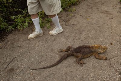 Photo: Tourists walk by a Galapagos land iguana (Conolophus subcristatus) on Urbina Bay, Isabela Island in Galapagos National Park.