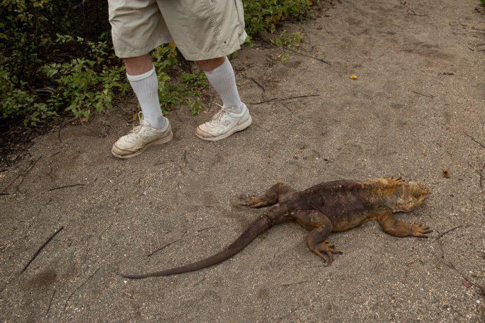 Photo: Tourists walk by a Galapagos land iguana (Conolophus subcristatus) on Urbina Bay, Isabela Island in Galapagos National Park.