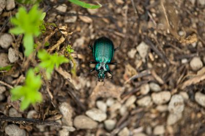 Photo: A beetle (probably Calosoma galapageium Hope) on Urbina Bay, Isabela Island.