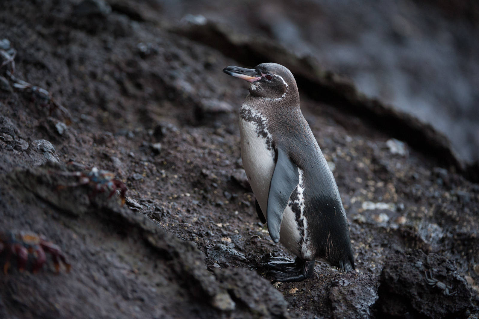 Photo: A Galapagos penguin (Spheniscus mendiculus) at Tagus Cove in Galapagos National Park.