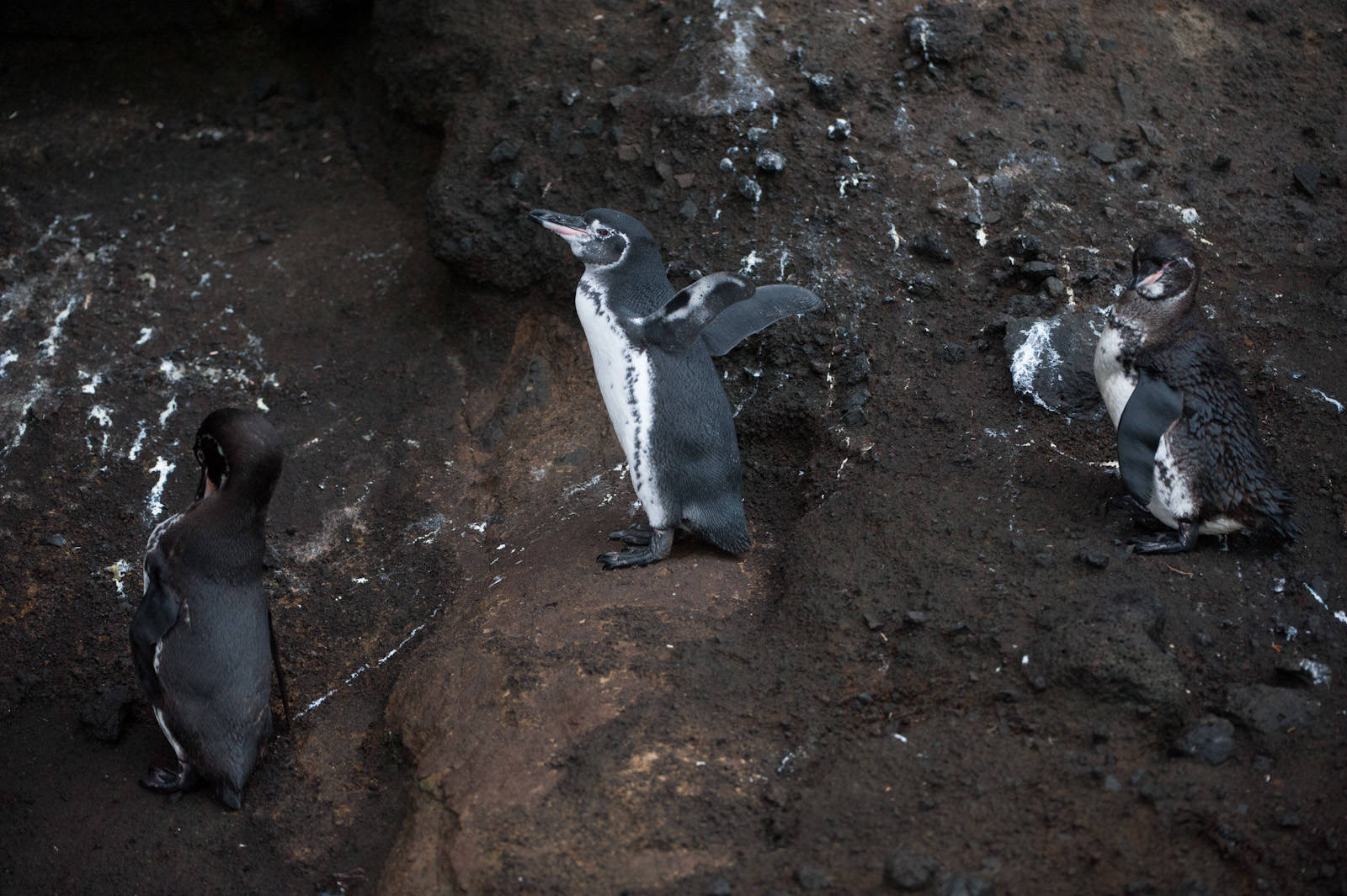 Photo: Galapagos penguins (Spheniscus mendiculus) at Tagus Cove in Galapagos National Park.