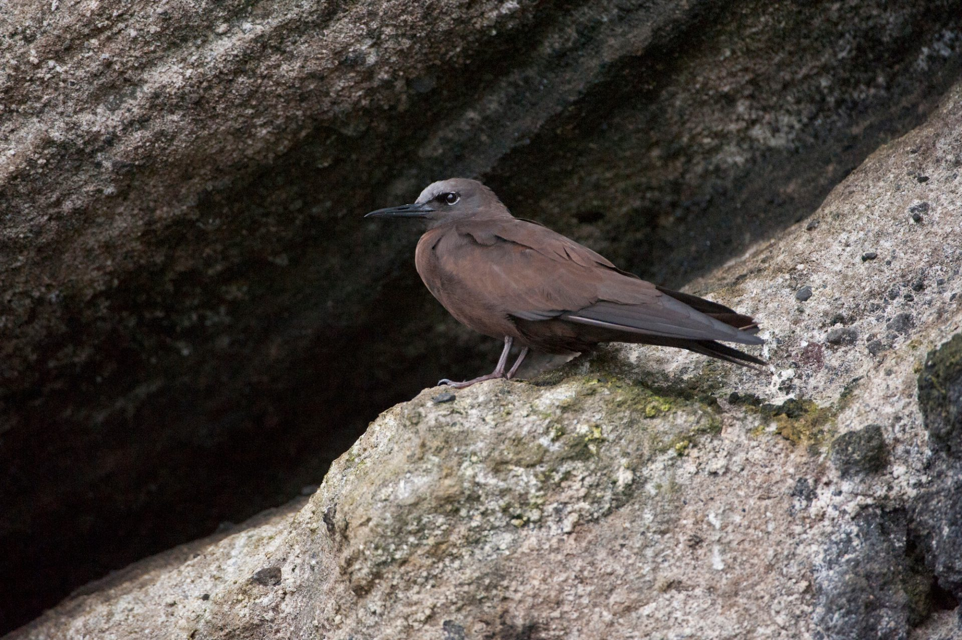 Photo: A brown noddy tern (Anous stolidus) at Tagus Cove in Galapagos National Park.