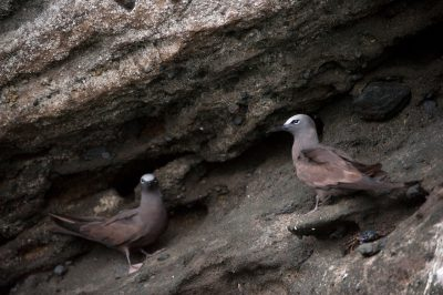 Photo: Brown noddy terns (Anous stolidus) at Tagus Cove in Galapagos National Park.