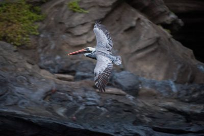 A brown pelican (Pelecanus occidentalis) at Tagus Cove in Galapagos National Park.