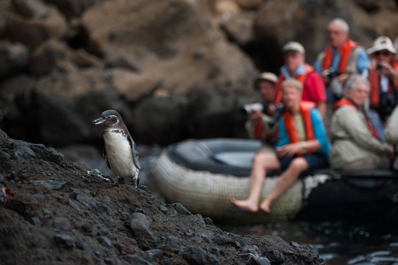 Photo: Tourists photographing a Galapagos penguin (Spheniscus mendiculus) at Tagus Cove in Galapagos National Park.