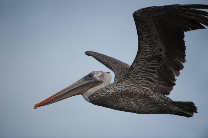 A brown pelican (Pelecanus occidentalis) preparing to dive for fish at Tagus Cove in Galapagos National Park.