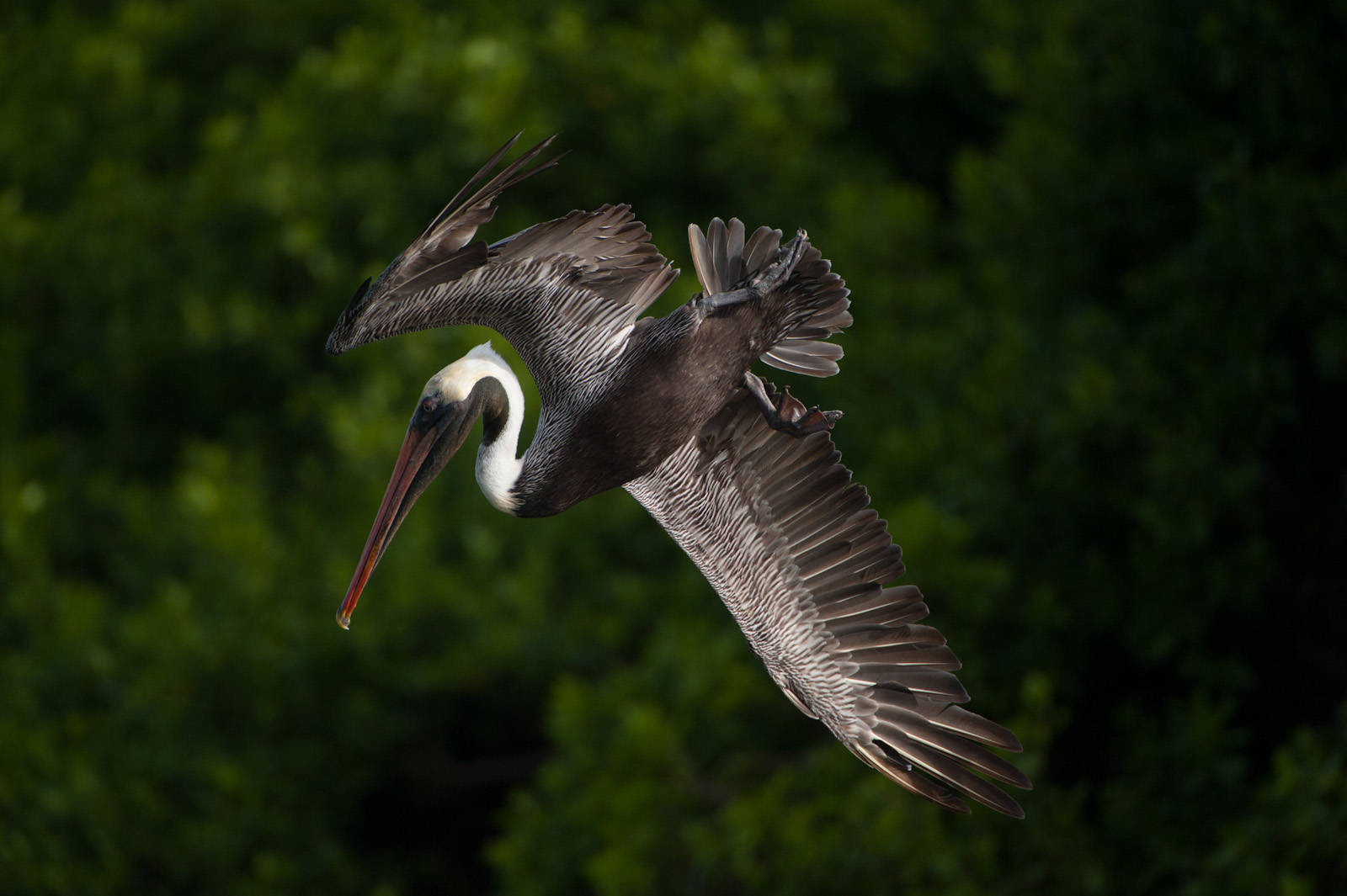 A brown pelican (Pelecanus occidentalis) preparing to dive for fish at Tagus Cove in Galapagos National Park.
