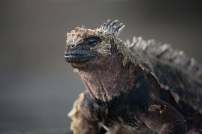 Photo: A Galapagos marine iguana (Amblyrhynchus cristatus) at Santiago Island in Galapagos National Park.