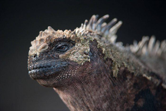 Photo: A Galapagos marine iguana (Amblyrhynchus cristatus) at Santiago Island in Galapagos National Park.