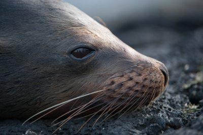 Photo: A Galapagos sea lion (Zalophus wollebaeki) around Puerto Egas, Santiago Island in Galapagos National Park.