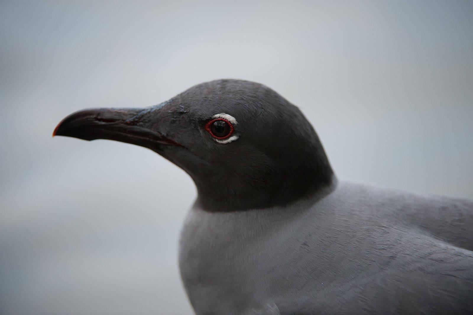 Photo: One of the rarest birds in the world, the lava gull (Leucophaeus fuliginosus) on Santa Cruz Island, on the edge of Galapagos National Park.