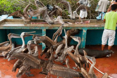 A fish market in the town of Puerto Ayora, on Santa Cruz Island, on the edge of Galapagos National Park, where brown pelicans (Pelecanus occidentalis) and a tame Galapagos sea lion (Zalophus wollebaeki) beg for fish scraps, mostly from yellowfin tuna (Thunnus albacares) and wahoo (Acanthocybium solandri).