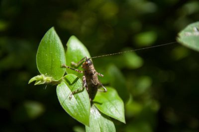 Photo: An endemic species of katydid (Liparoscelis cooksoni) on Santa Cruz Island, on the edge of Galapagos National Park.