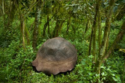 A Galapagos tortoise (Chelonoidis vicina) in the wild on Santa Cruz Island, on the edge of Galapagos National Park.