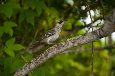 Photo: A Galapagos mockingbird (Mimus parvulus) on Santa Cruz Island, on the edge of Galapagos National Park.