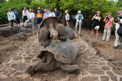 Tourist look on as a pair of very old Galapagos tortoises (Chelonoidis vicina) mate at the Charles Darwin Research Station, on Santa Cruz Island, at the edge of Galapagos National Park.