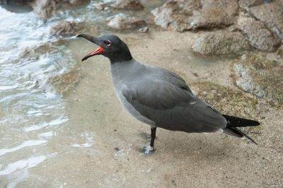 Photo: One of the rarest birds in the world, the lava gull (Leucophaeus fuliginosus) on Santa Cruz Island, on the edge of Galapagos National Park.