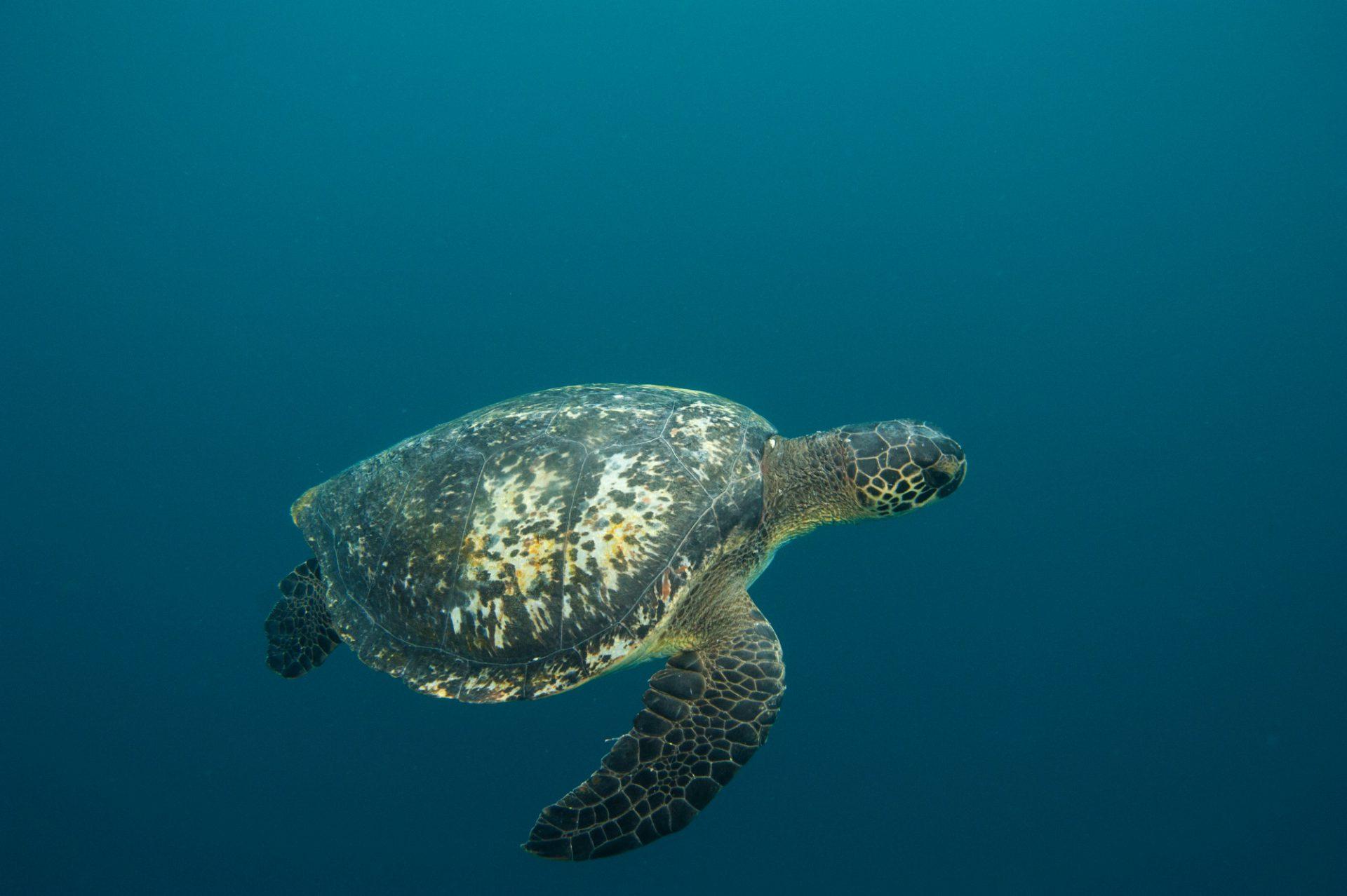 An endangered, (IUCN) and federally endangered green sea turtle (Chelonia mydas) around 'Kicker Rocks' on the edge of San Cristobal Island.