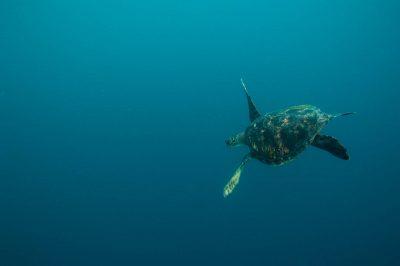 An endangered (IUCN) and federally endangered green sea turtle (Chelonia mydas) around 'Kicker Rocks' on the edge of San Cristobal Island.