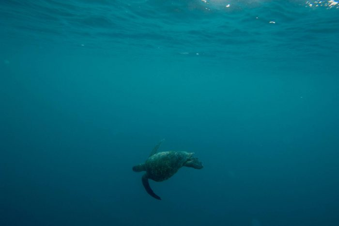 A green sea turtle (Chelonia mydas) around 'Kicker Rocks' on the edge of San Cristobal Island. (IUCN: Endangered; US: Endangered)