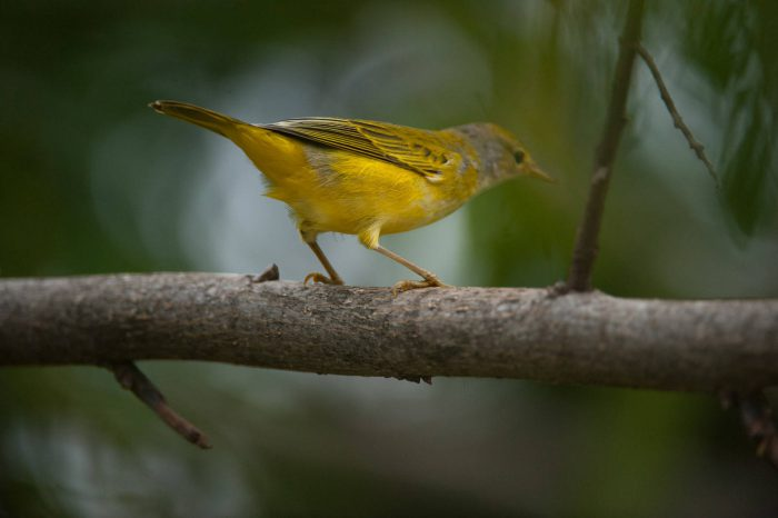 Photo: A yellow warbler (Dendroica petechia) on San Cristobal Island (formerly known as Chatham Island).
