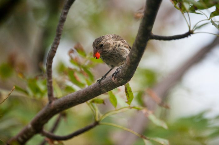 Photo: A medium ground finch (Geospiza fortis) on San Cristobal Island (formerly known as Chatham Island).