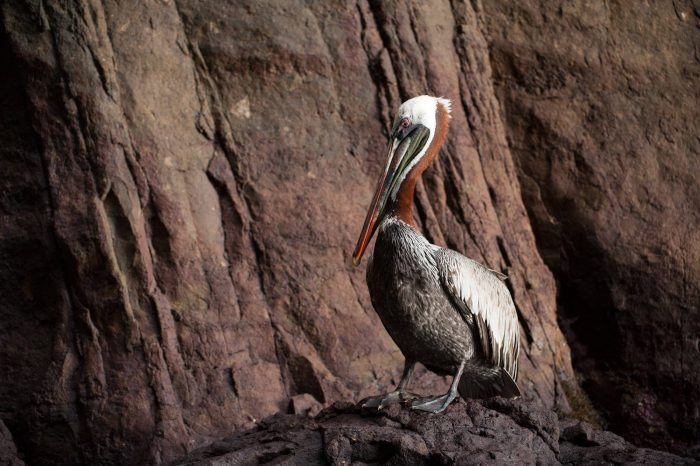 A brown pelican (Pelecanus occidentalis) on San Cristobal Island (formerly known as Chatham Island).