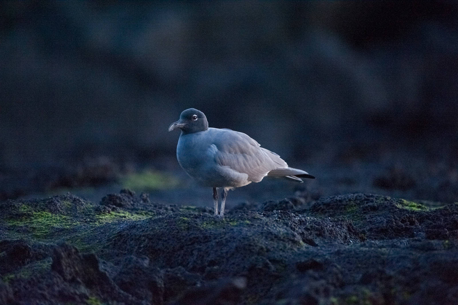 Photo: Lava birds (Leucophaeus fuliginosus) on San Cristobal Island (formerly known as Chatham Island). Lava gulls are one of the rarest birds in the world with a population of less than 300.