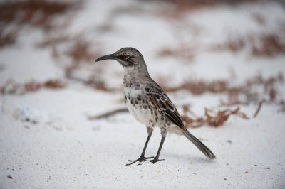Photo: The hood mockingbird, also known as the Espanola mockingbird, (Mimus macdonaldi) is a very rare bird species that's found only on Espanola Island in Galapagos National Park.
